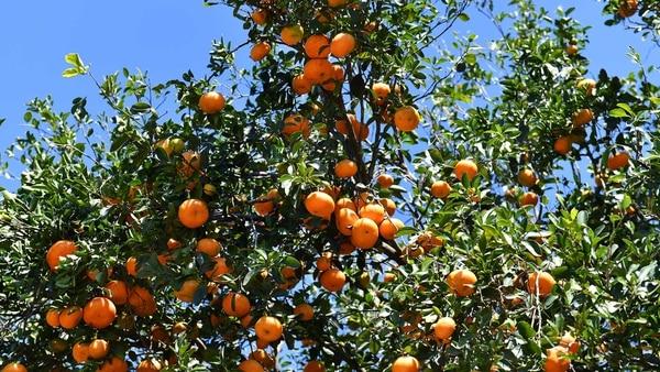 Este año, el exceso de mandarinas provocó que muchas ramas se desgajaran del tronco principal, lo cual incidirá en problemas para los árboles y por supuesto para el bolsillo de los citricultores, pues muchas frutas no se pueden aprovechar.