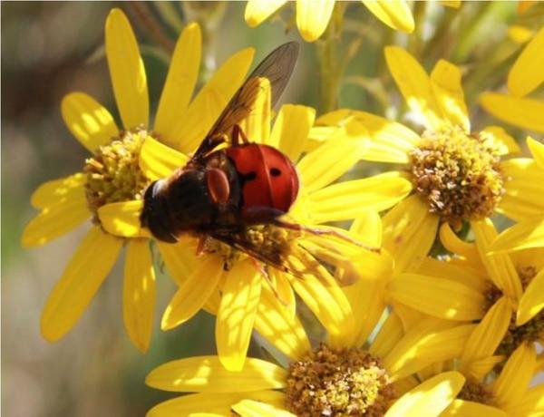 Los insectos polinizan variedad de plantas, particularmente las que tienen flores pequeñas.   MARÍA ALEJANDRA MAGLIANESI PARA LN.