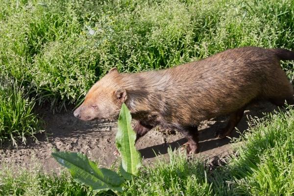 El animal captado por las cámaras de monitoreo es similar a este. El nombre de la especie es Speothos venaticus, y es conocido popularmente como