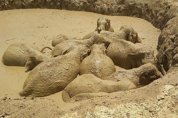 Once elefantes, incluído un bebé, fueron rescatados del cráter provocado por una bomba en Cambodia.