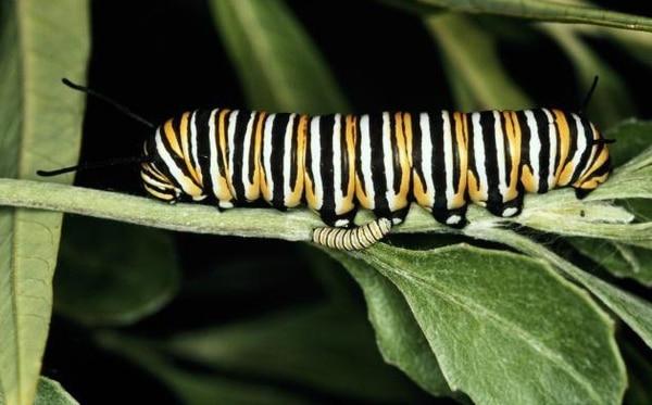 En la metamorfosis compleja, las larvas se convierten en pupas y luego en insectos adultos.   ARCHIVO