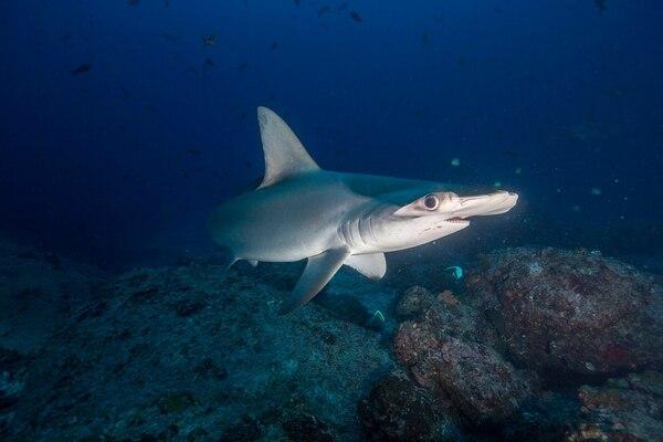 A este tiburón se le bautizó con el nombre de Sylvia en honor a la oceanógrafa y exploradora residente de National Geographic Society, Sylvia Earle.