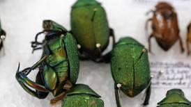 Orquídeas, madera de cocobolo y escarabajos están en la mira de bandas que trafican vida silvestre