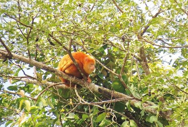 Un individuo que se localiza en Caño Negro, en la Zona Huetar Norte del país, sería el único caso que se conoce, de un mono aullador cuyo pelaje se modificó completamente. Foto: ODI UCR