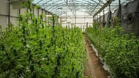 El mercado del 'cannabis' legal crece a buen ritmo en el Reino Unido