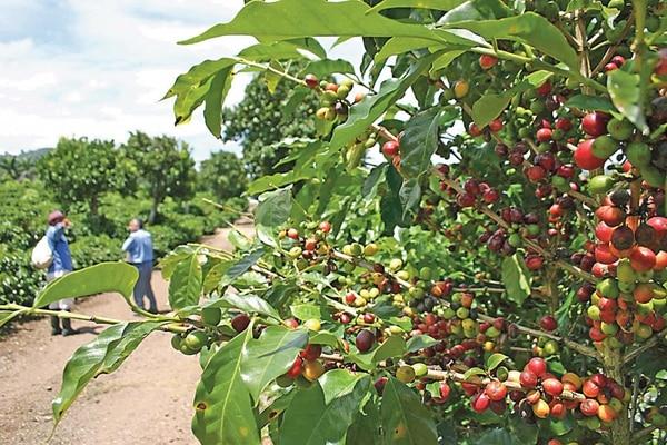 La recolección de la cosecha 2013-2014 se inició ya en zonas como Pérez Zeledón y Coto Brus. El sector teme más problemas con la roya. | ARCHIVO