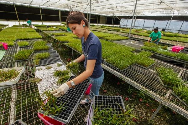 Las ventas del sector de plantas, flores y follaje cayeron un 20% en cinco años. Orquídeas Costarricenses, en Alajuela, afrontó la baja mediante alianzas con firmas externas. Ana Yency Porras trabaja en la empresa.   JORGE ARCE