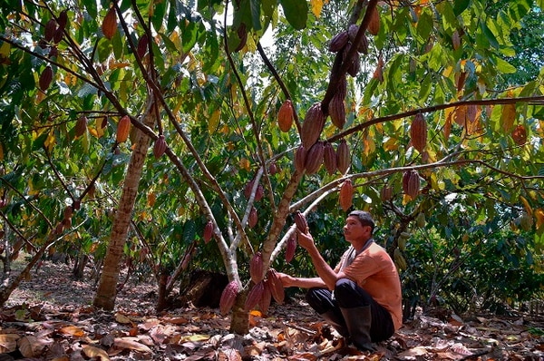 Uriel Casallas revisa su plantación de cacao en le región de Vichada en Colombia