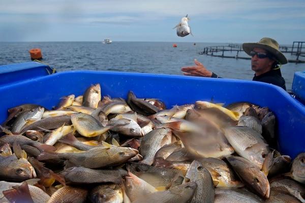 Los peces se mantienen un año en la granja, hasta alcanzar entre los 400 y los 900 gramos. El producto es exportado fresco, esto quiere decir, que tan solo unas horas después de ser cosechados deben estar viajando a Estados Unidos. Fotos: Mayela López