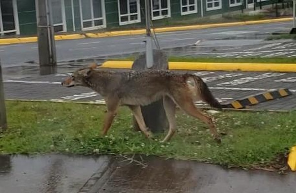 Desde hace varias semanas, coyotes han sido vistos en el campus del TEC, en Cartago. Foto: suministrada por Fernando Gutiérrez.