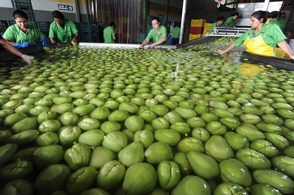 El valor de las exportaciones costarricenses de chayote aumentó un 18% en los primeros ocho meses del año, comparativamente con igual periodo del 2015.