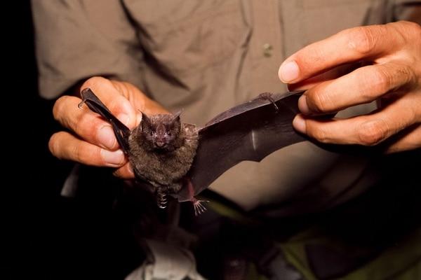 Los investigadores instalarán redes de niebla para capturar murciélagos. Una vez hayan tomado datos biométricos (tamaño, sexo, etc.), liberarán al animal. | ARCHIVO