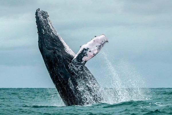 La emoción de contemplar a estos animales nadando libres en la inmensidad del mar da sensación de plenitud. (Photo by Miguel MEDINA / AFP)