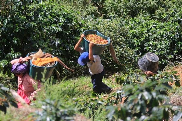 En las fincas cafetaleras de la zona de Los Santos, la de mayor producción del grano en Costa Rica, es fundamental el aporte de indígenas panameños Ngöbe-Buglé y de nicaragüenses, para recolectar la cosecha. Foto: Rafael Pacheco.