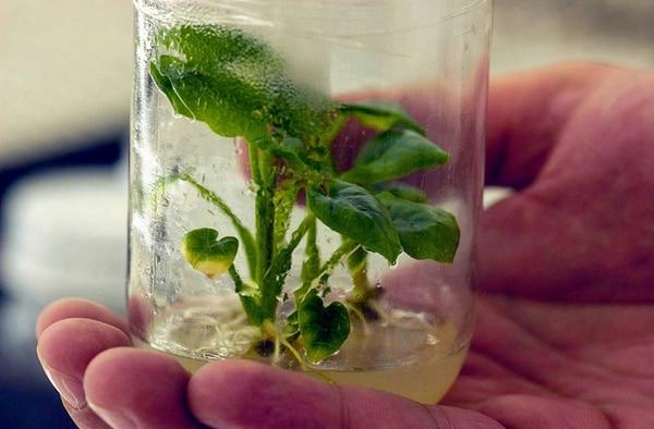 Las modificaciones genéticas se realizan en laboratorios y los resultados se prueban en ensayos en el campo. Costa Rica aún no llega al nivel de desarrollar proyectos comerciales. | ARCHIVO/ MARVIN CARAVACA