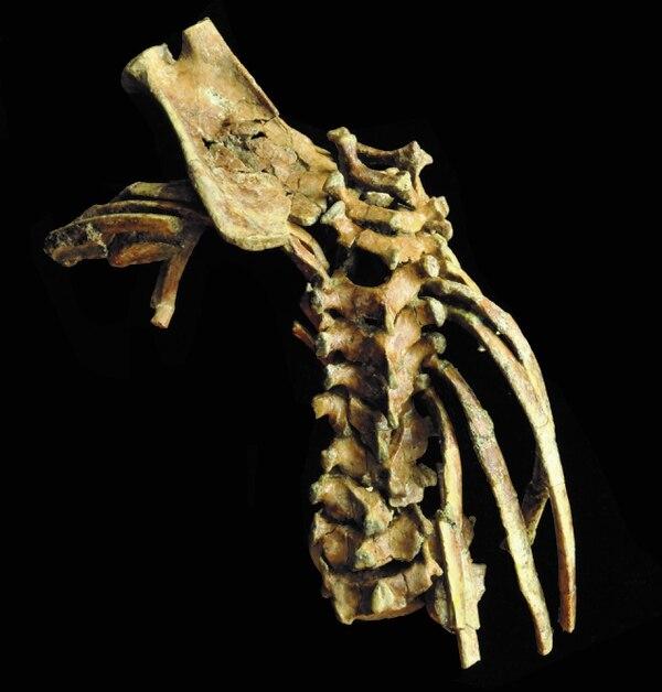 Este es hasta el momento el fósil más completo de la espina dorsal de un ser humano.