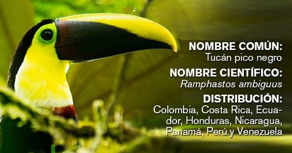 En Rainforest Adventures, más conocido como teleférico del Atlántico, se pueden observar 371 especies de aves. Entre ellas está el tucán pico negro.