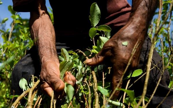Recolección de hojas de coca en un campo junto al río Inirida, en el departamento de Guaviare, Colombia, el 25 de setiembre del 2017. Foto: AFP