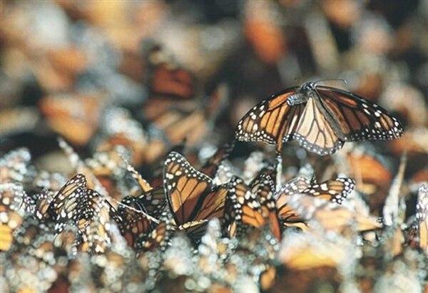 Las mariposas se usan como bioindicadores, es decir, a través de ellas se puede apreciar el estado de salud que presentan los ecosistemas. Archivo LN