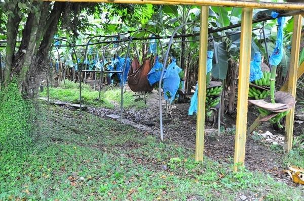 Las fincas bananeras en Sixaola tienen 20 días de verse prácticamente vacías, producto de la huelga que realizan los trabajadores. | RONNY JAEN