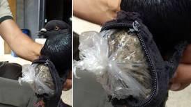 Policía penitenciaria atrapa paloma en La Reforma con carga de marihuana y cocaína