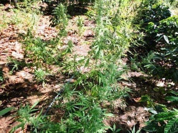 La Policía quemó la plantación de marihuana encontrada.