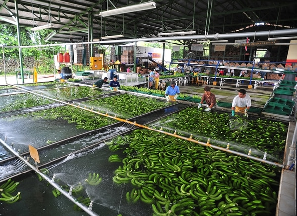 El banano tuvo una caída de un 14% en sus exportaciones generales acumuladas a setiembre, frente al mismo lapso del 2012. | ARCHIVO/JORGE CASTILLO