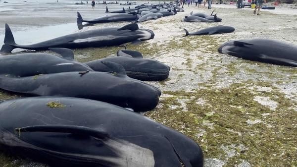 Ballenas encalladas en Nueva Zelanda.