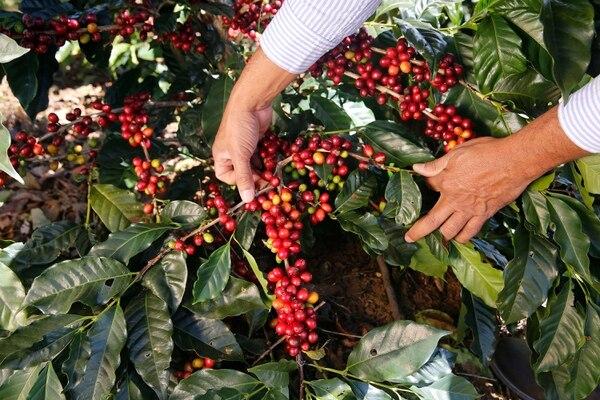 En varias fincas de Naranjo, Alajuela, se cultivan nuevas variedades de café. Según los productores el rendimiento de las nuevas especies de origen brasileño va a ser mucho mayor al promedio actual de 24 fanegas por hectárea. Foto: Albert Marín.