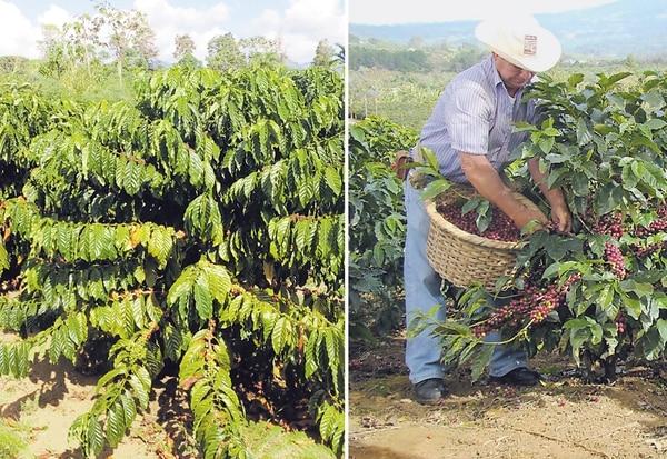 El arbusto de café tipo Robusta (izquierda) puede medir de 8 a 12 metros de altura, las hojas son más largas y corrugadas que las de Arábiga y el grano es más pequeño aunque su productividad es mayor. Es más resistente y se desarrolla en altitudes más bajas, entre 300 y 600 metros sobre el nivel del mar (msnm). La Arábiga (derecha) es más pequeña, su productividad es menor y requiere altitudes sobre los 1.600 msnm, pero su grano se cotiza más caro. | CORTESÍA DE ICAFÉ.