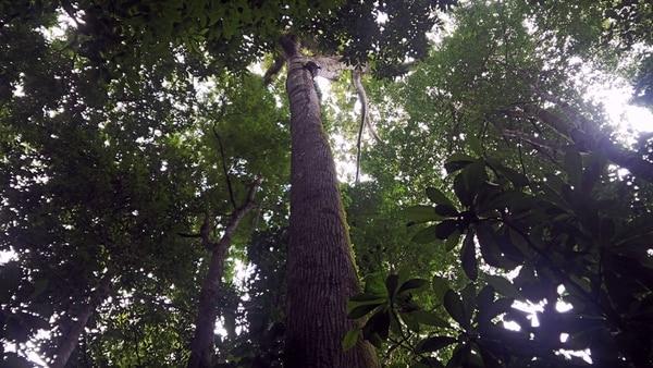 En el mundo hay 60.065 especies de árboles contabilizadas, según una lista de la Asociación Internacional de Jardines Botánicos (BGCI).