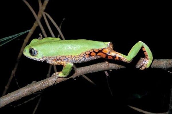 El linaje Hyloidea se extendió por América Latina.