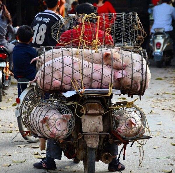 Los vietnamitas se las ingenian para trasladar de todo en las motocicletas, como a estos cerdos. Fotografía: Claudia Alfaro