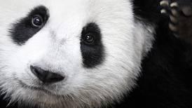 China apuesta por la reproducción en cautividad de los pandas