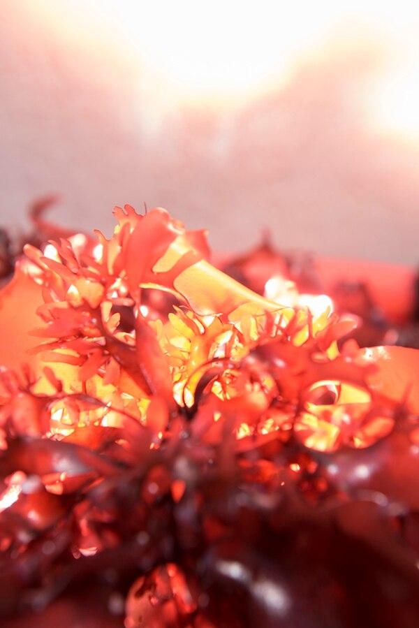 Dulse es una variedad de alga marina que crece tanto en la costa del Pacífico como la del Atlántico de Estados Unidos. | OSU PARA LN