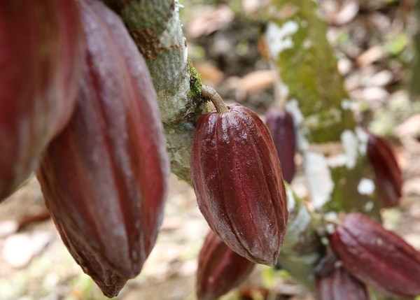 En el 2017, la Secretaría Ejecutiva de Planificación Sectorial Agropecuaria (Sepsa) determinó que la cantidad de fincas productoras de cacao en Costa Rica asciende a 1.441, que representaban un área sembrada superior a las 3.000 hectáreas. Visita a plantaciones de cacao en Matina de Limón. Foto con fines ilustrativos: Albert Marín/Archivo