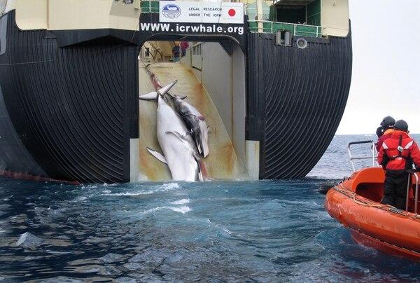 En un fallo de 31 de marzo, la Corte Internacional de Justicia de La Haya ordenó a Japón para detener la concesión de permisos para su programa de caza de ballenas de la Antártida, lo que permitió un sacrificio anual de alrededor de 1.000 ballenas.