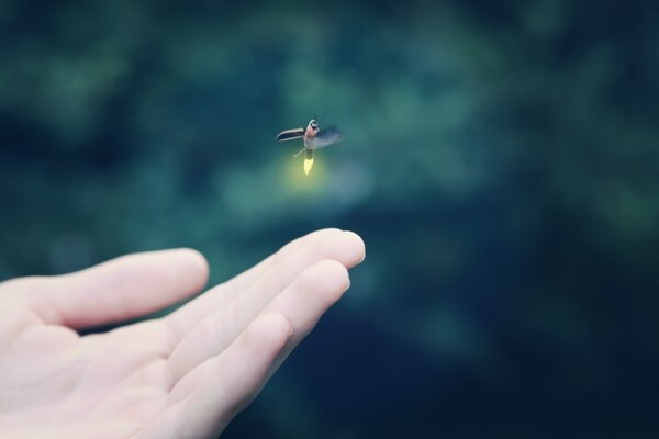 Las luciérnagas producen bioluminiscencia. Shutterstock