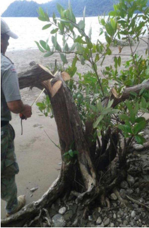 A lo largo de un kilómetro se cortaron árboles cuya función en el ecosistema es de gran importancia.