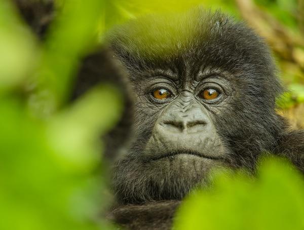 Dian Fossey fue asesinada en Ruanda, en 1985. Foto: Nat Geo