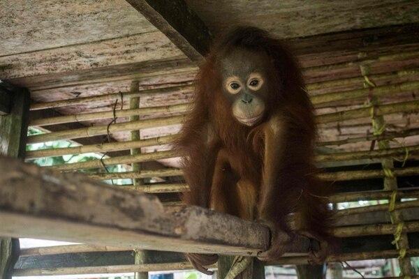 Ecologistas y funcionarios rescataron a Utu (en la foto) y a Joy, que permanecían encerrados en una pequeña jaula, en una casa en la isla de Borneo, al sureste de Asia. Foto: Rescate Animal Internacional / AFP.