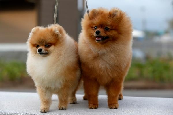 Estos perros de la raza Pomerania son un ejemplo de la exhibición de este fin de semana.Mayela López.