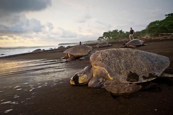 La lora es una de las especies de tortugas marinas. | ARCHIVO/A. TENORIO