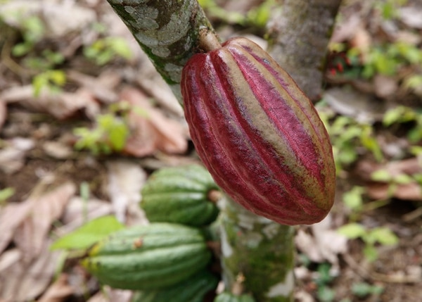 Finca del señor Marcial Menocal Meléndez (68) quién tiene unas 2000 plantas de cacao en una extensión de tres hectáreas. Foto: Albert Marín.