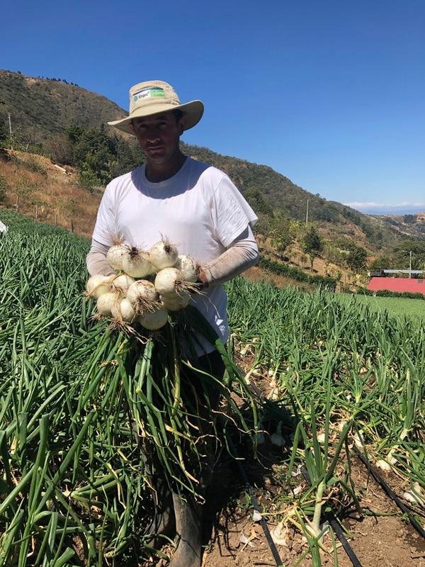 La cebolla es uno de los tres productos que más se siembran en Santa Ana. También se cosecha chile y tomate. Foto: Cortesía