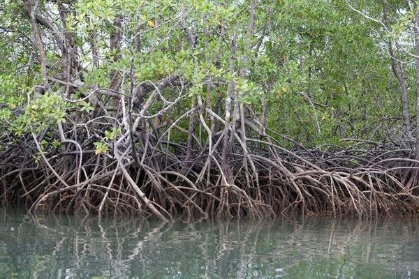 La Neotrópica busca rescatar los manglares, claves en la captura y almacenamiento de carbono, por lo que tienen un rol fundamental en la lucha contra el cambio climático. | CORTESÍA DE NEOTRÓPICA.