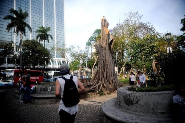 Un higuerón de ocho metros es talado por la municipalidad de San José por daños en sus raíces.