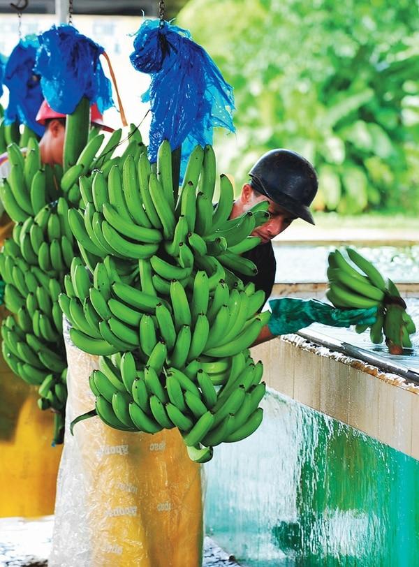 La multinacional Dole confirmó que adquirió, en el último año, fincas de piña y banano por un monto de $100 millones. En la imagen, trabajadores en una una bananera ubicada en Siquirres, en Limón. | JORGE CASTILLO