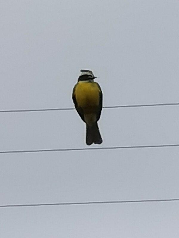 El teleobjetivo también me permitió fotografiar esta ave, parada sobre un cable eléctrico a unos 35 metros de distancia.