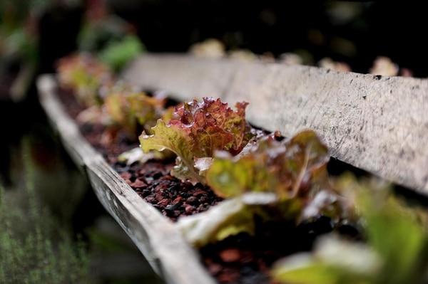 Uno de los cursos gratis y en línea propuestos por el TEC consiste en enseñarle a quien tenga interés cómo hacer una huerta orgánica en la casa (Imagen con fines ilustrativos). Fotografía: Cortesía.